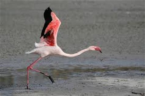 can flamingos fly do flamingos fly