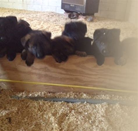 black german shepherd puppies for sale in nc best german shepherd breeders in carolina dogs our