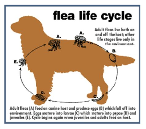if your dog has fleas does your house flea allergy part 1 3 scary flea facts you might not know canine skin solutions