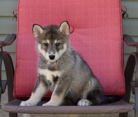wolf puppies for sale in nc wolf hybrid dogs puppies for sale in carolina and south carolina breeds
