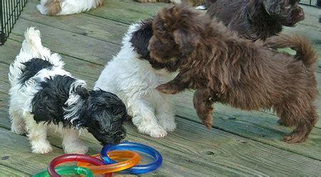 graceful havanese our havanese puppies are 7 weeks now havs of havre de grace