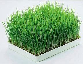 Benih Rumput Gandum Murah bibit wheatgrass rumput gandum impor murah rp 25 000 per