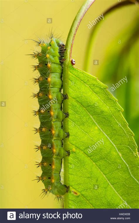 moth on leaf green moth leaf caterpillar stock photos green moth leaf