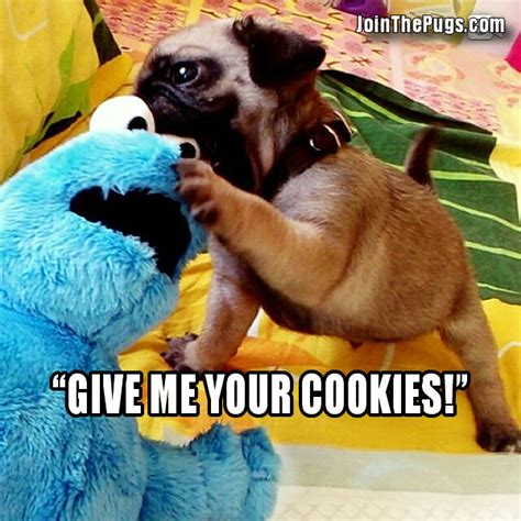 cookie pug cookie versus pug join the pugs
