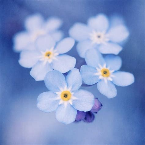 printable forget me not flowers forget me not flower print flower wall art flower