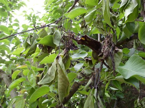 pear tree diseases asian pear tree s leaves and blossoms have turned black