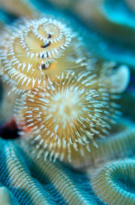 brain coral christmas tree worms