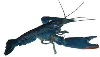 Harga Bibit Lobster Air Tawar 2018 rillah crayfish farm