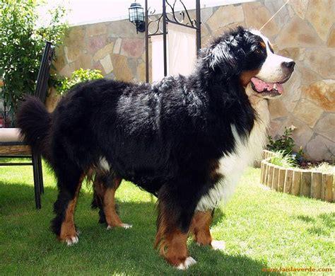 cocos grandes y peludos m 225 s de 25 ideas fant 225 sticas sobre razas de perros grandes