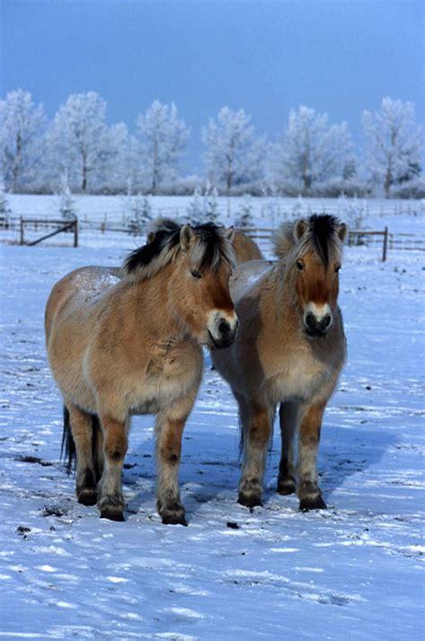 fjord paard rassen de fjord