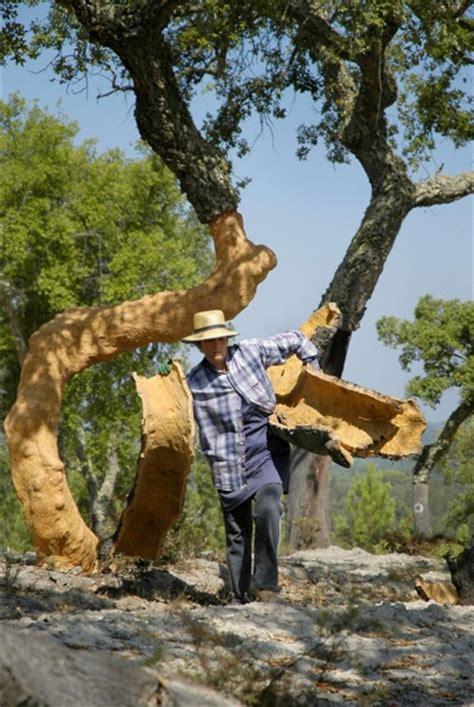 trees in cork cork trees soft skinned monarchs of the mediterranean