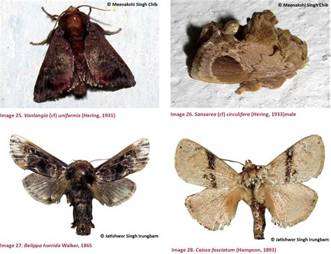 We Could Not Confirm This Identity Based On Records Moths Of The Family Limacodidae Duponchel 1845 Lepidoptera Zygaenoidea From Bhutan