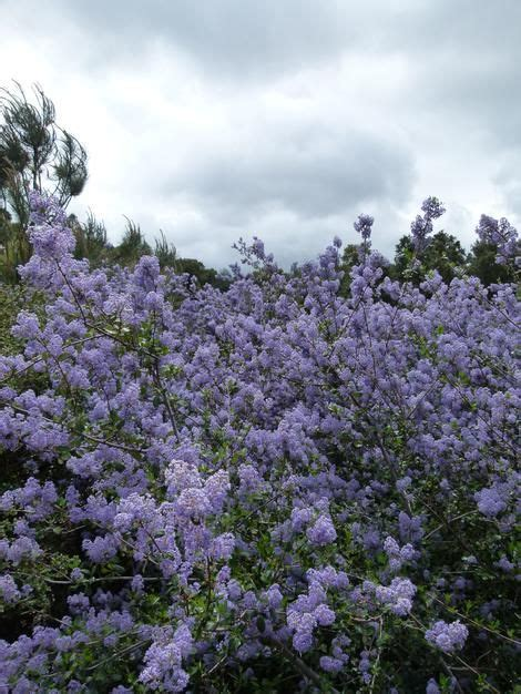Sebia Jersey Blue Lilac 102 best images about ceanothus on new jersey plant sale and sun