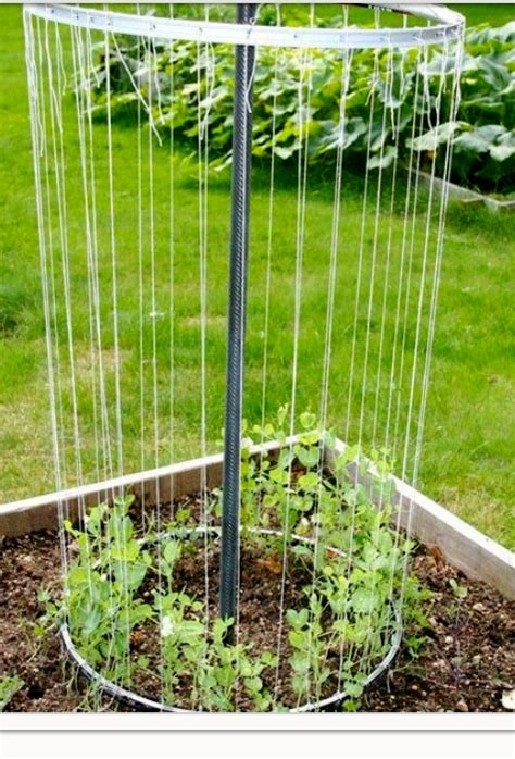 do sugar snap peas need a trellis 1000 images about planting on sugar snap peas
