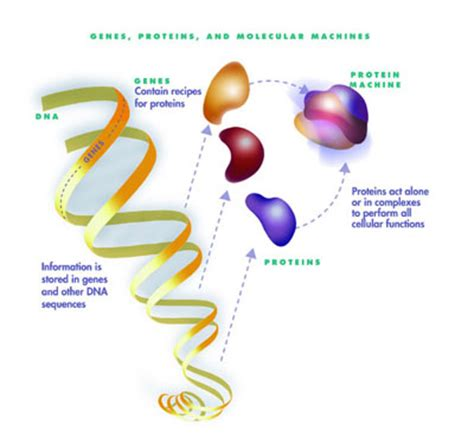 4 proteins in dna what dna does dna s howstuffworks