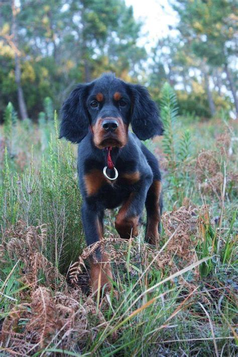 gordon setter hunting dogs for sale 64 best gordon setters images on pinterest dogs english