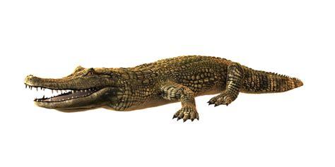 krokodil images cayman crocodile alligator 183 free image on pixabay