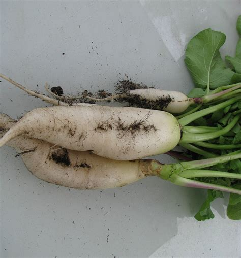Ripped List White Rawis bulb vegetables list pictures to pin on pinsdaddy