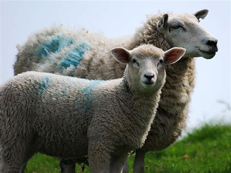 Pink Apologises To Aussie Wool Industry by Australia Wool Industry Pressure By U S European