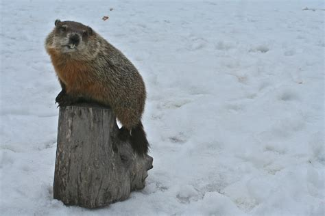 groundhog day legend cities naturalist official 2012 cities