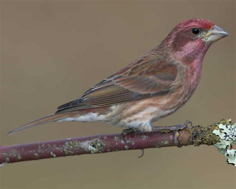 purple house finch purple finch audubon field guide