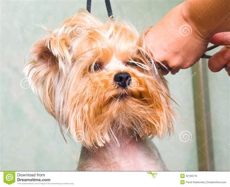 bathing a yorkie puppy grooming terrier royalty free stock images image 32109719
