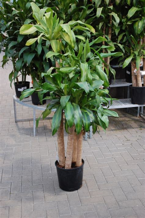 large houseplants 65 best images about house plant display on pinterest