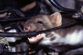 animals chewing wires ca consumers file suit against manufacturer for chewed car wires the national trial lawyers