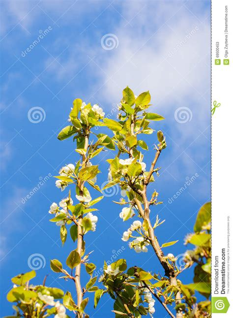 fiori di ciliegia fiori di ciliegia con fondo immagine stock immagine