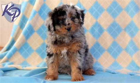 aussiedoodle puppies for sale aussiedoodle mini puppy www keystonepuppies keystonepuppies