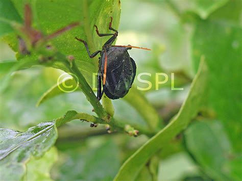 bug tree unlimited a royalty free image of mature stink bug on lemon tree