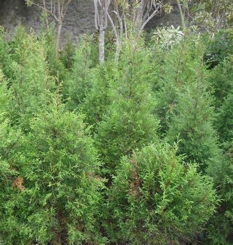 Bibit Pohon Cemara Norfolk jenis pohon cemara dan harga bibit pohon cemara bibit