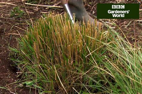 splitting ornamental grasses gardenersworld com