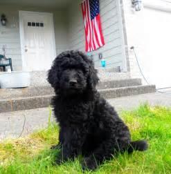 goldendoodle puppy black medium f1b goldendoodles jet black and boy
