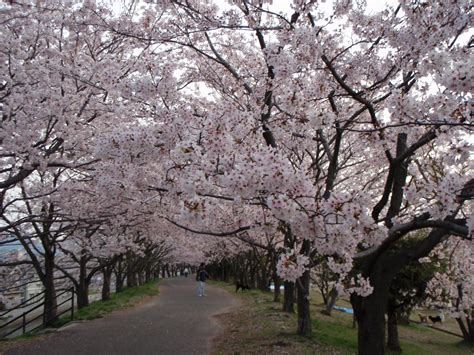 download wallpaper bunga sakura jepang gambar pemandangan bunga sakura fresh new bunga sakura