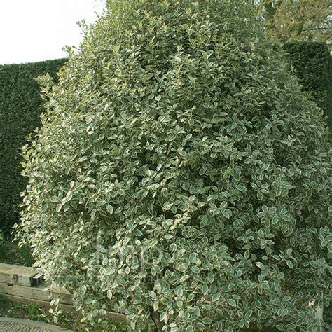 Bush Topiary - pittosporum tenuifolium garnettii information pictures amp cultivation tips