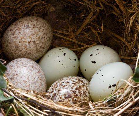 house finch eggs house finch eggs in nest update krts 93 5 fm marfa