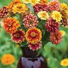 Bibit Bunga Dianthus Carpet 50 Butir Benih bibit bunga zinnia luminosa pink
