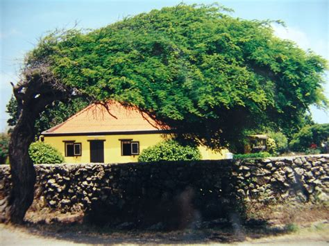 House Aruba by Panoramio Photo Of Aruba Quot Divi Divi Cunucu House Quot