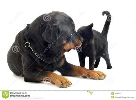 rottweiler and cats rottweiler and cat royalty free stock images image 26912879