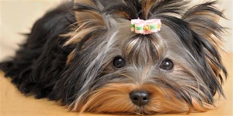 is a yorkie hypoallergenic the itchy about hypoallergenic dogs