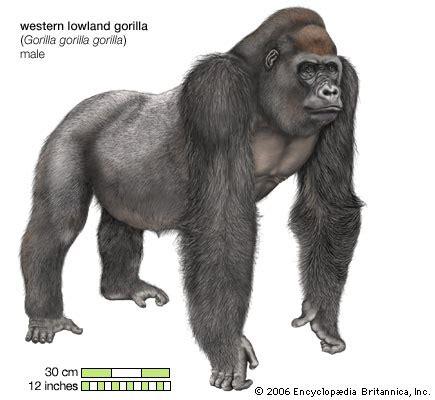 Western lowland gorilla   primate   Britannica.com