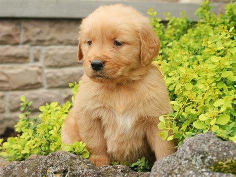 golden retriever farm troyer farm golden retrievers golden retriever puppies for sale