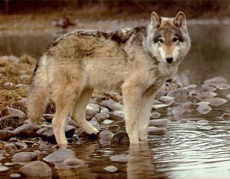 wolf s wolf the biggest animals kingdom