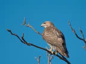 what eats a hawk