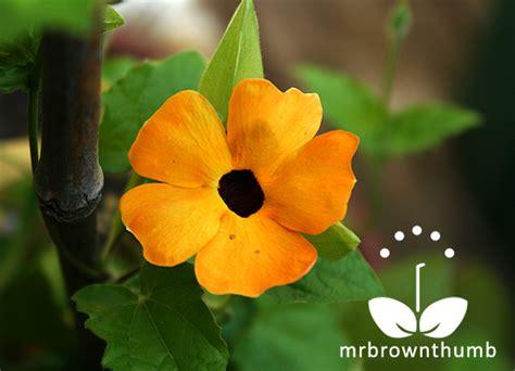 Iv Kartika Bergo Flower Brown how to collect black eyed susan vine seeds mrbrownthumb