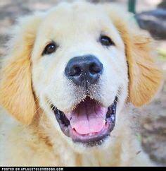 smiley golden retriever golden retriever border collie mix puppies for sale zoe fans baby