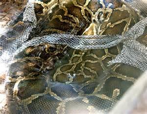 snake shedding its skin photo roberta photos at pbase