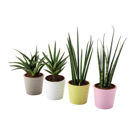 vasi piante ikea sansevieria pianta con vaso ikea