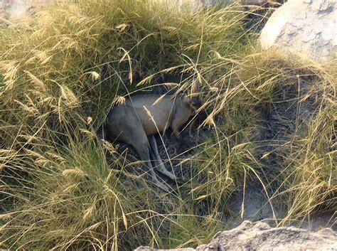 doodlebug kangaroo australia